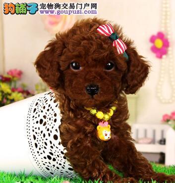 出售精品纯小体荼杯/玩具泰迪熊犬 可签协议