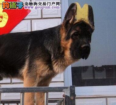 德国牧羊犬不听话怎么办?怎么在狗狗面前树立主人威信