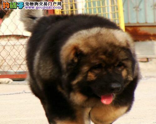 选购高加索犬时应该注意的优点和主要缺陷