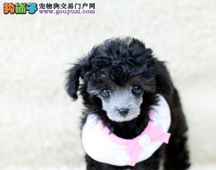 聪明可爱的昆明贵宾犬找爸爸妈妈 喜欢可上门看狗