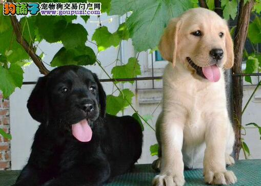 郑州实体店热卖拉布拉多颜色齐全CKU认证绝对信誉保障