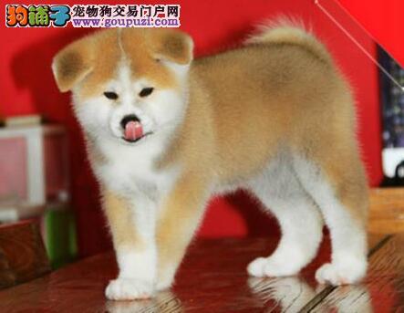 怎样让秋田犬成为最美丽动人的狗狗