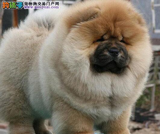 自贡售高品质松狮犬 纯种幼犬肉嘴松狮狗 宠物狗包纯种