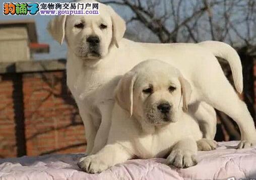 详细了解拉布拉多犬自身的优点和缺点