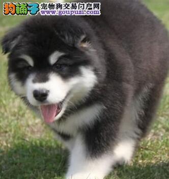 AKC注册犬业出售冠赛级阿拉斯加幼犬质保三年