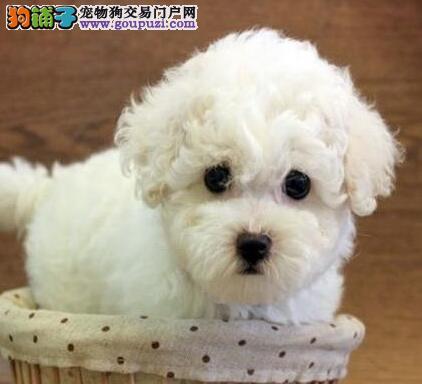 福州售比熊犬棉花糖白色粉扑幼犬公母全有欢迎选购