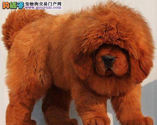 出售纯种原生态铁包金藏獒幼犬图片