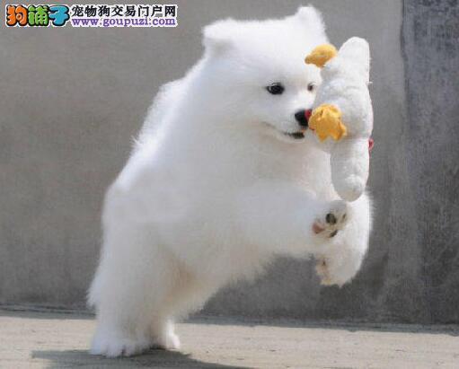 优秀犬舍出售极品微笑天使武汉萨摩耶 可送货可签协议