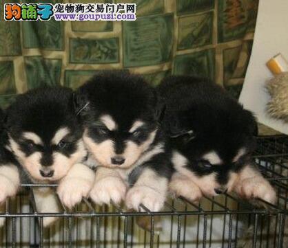 狗场出售纯种血统的阿拉斯加 信誉保证