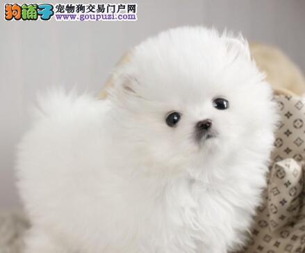 赛级品质哈多利版博美犬火爆出售中 武汉同城可送狗2