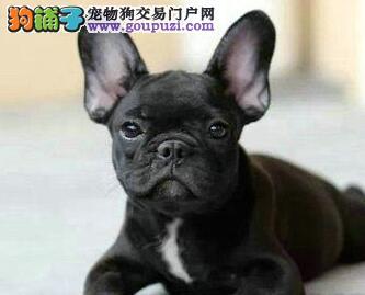 青岛出售高品质黑白花法国斗牛犬 法斗幼犬包退换