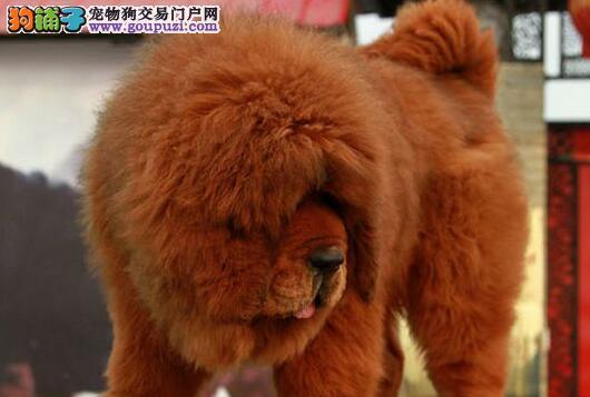 热销多只优秀的三亚纯种藏獒幼犬冠军级血统品质保障4