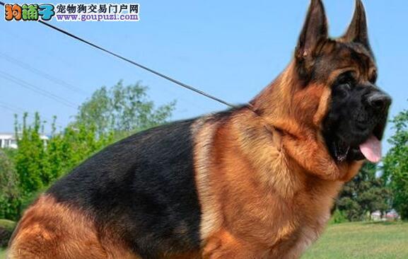 岳阳出售德国牧羊犬幼犬品质好有保障带血统证书签活体协议