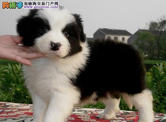 北京售极品边牧犬 边境牧羊犬幼犬疫苗驱虫全可视频