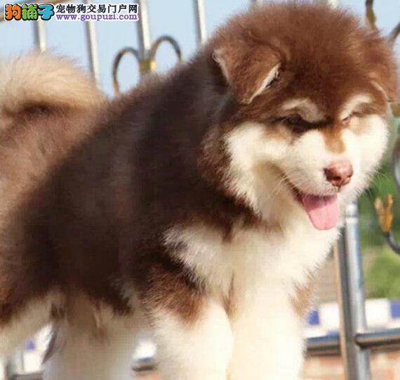出售阿拉斯加雪橇犬母子
