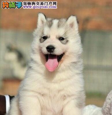 出售三把火蓝眼睛纯种健康的昆明哈士奇幼犬 公母都有