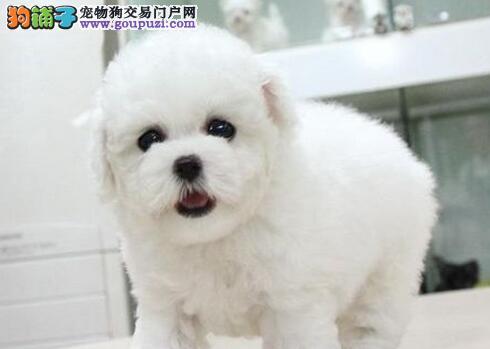 昆明犬舍直销雪白色大头卷毛纽扣眼比熊犬 数量有限