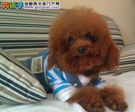 昆明犬舍出售品相极佳的贵宾犬 24小时提供客服服务