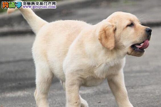 黄冈血统纯正拉布拉多犬出售嘴宽骨量毛量大保健康品质
