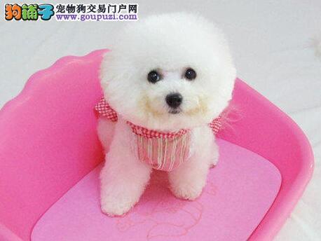 毕节地区售比熊幼犬白色粉扑棉花糖疫苗驱虫已做可视频