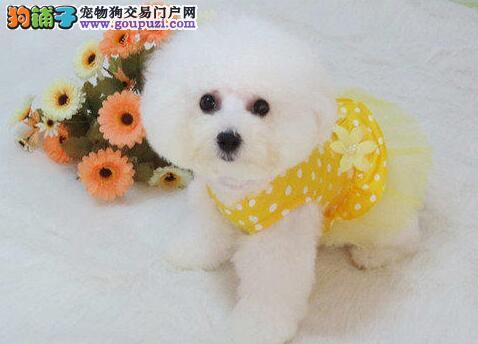 极品优秀卷毛南京比熊犬直销中 欢迎上门挑选和购买
