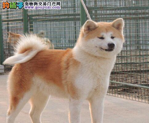 忠顺,高雅、感觉敏锐、举止庄重的秋田犬