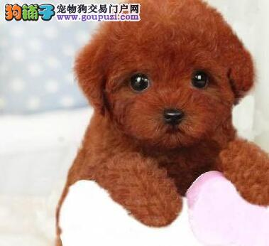 深红色茶杯玩具体型的泰迪犬找新主人 贵阳市内可送货2