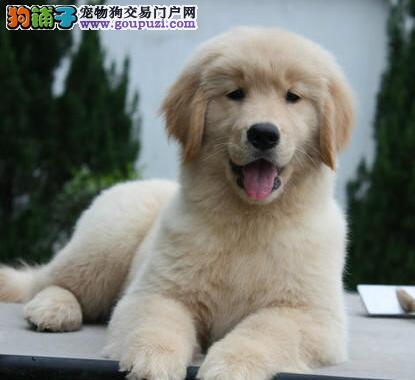 金毛纯种家养黄金寻回猎犬宠物冠军赛级CKU认证