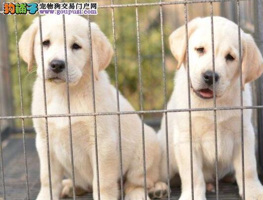 济南大头高品质拉布拉多幼犬出售健康纯正好血统多只挑