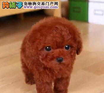 北京精品高品质泰迪犬幼犬热卖中价格低廉品质高