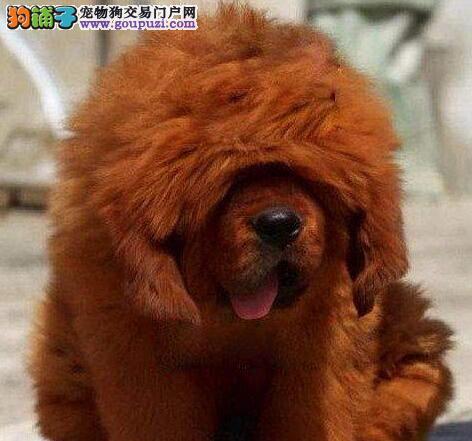 藏獒杭州繁殖出售保证纯种保证健康