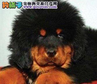 诚信大型犬业出售国际标准藏獒图片
