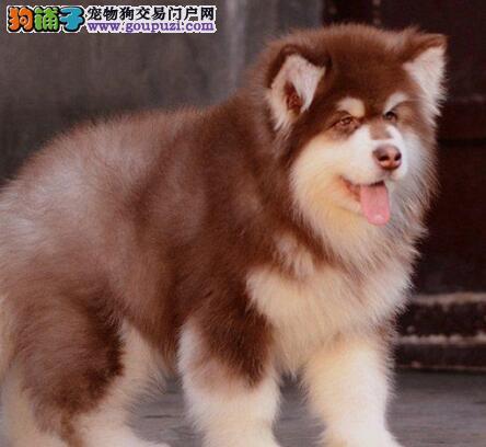 超大巨型阿拉斯加幼犬 购犬赠送全套用品