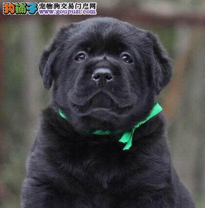 四平市出售拉布拉多犬 质量三包 血统纯正 可上门挑选