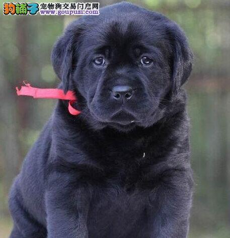 上海普陀售纯拉布拉多犬,导盲犬,健康有保障,可检测