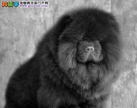 松狮纯血统 幼犬黄白松狮 大头幼犬松狮出售 健康纯