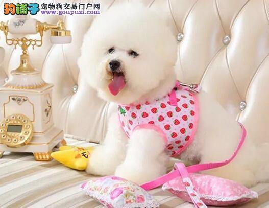 韩国引进大眼睛甜美脸型的广州比熊犬低价出售 签协议