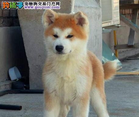 石家庄日系秋田犬高端伴侣犬 护卫犬