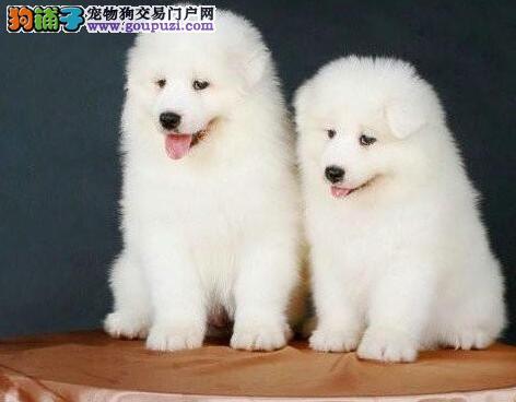 萨摩耶幼犬出售中 CKU认证犬舍 签协议可送货