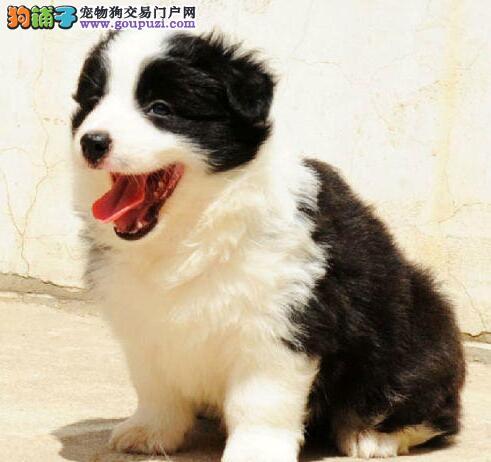 超高品质的边境牧羊犬热销中 大庆市内免费送货上门