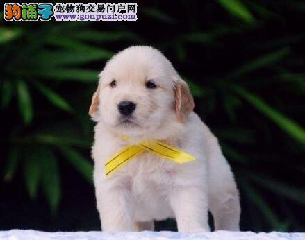 狗狗养护:狗耳朵有异味?四个步骤,轻松解决