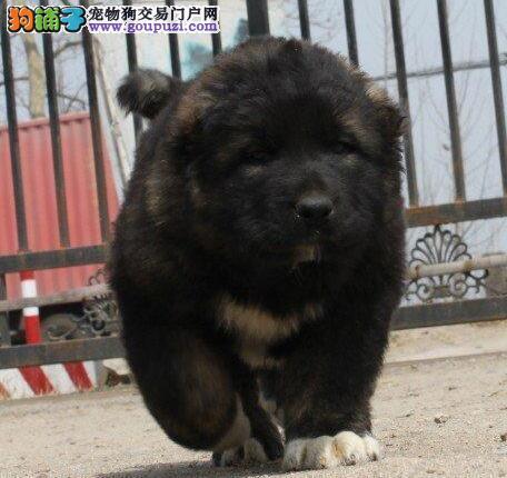 武汉出售超级巨大猛犬高加索幼犬 骨架大 健康