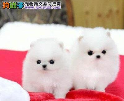 出售高品质博美犬 金牌店铺价位最低 签署合同质保