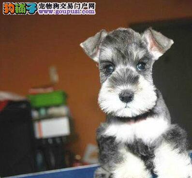 雪纳瑞犬出售 限时不限量打折大促销 签合同