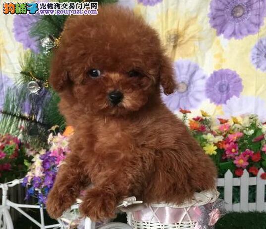 昭通出售极品贵宾犬幼犬完美品相签署质保合同