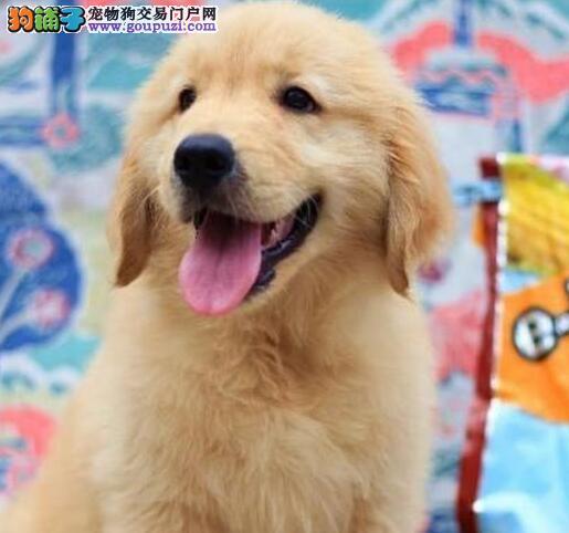 江津市售纯种金毛犬幼犬黄金猎犬幼犬公母全可挑选