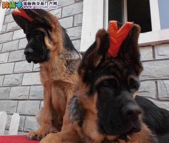 低价出售易训练的厦门德国牧羊犬 服从命令 感觉敏锐3