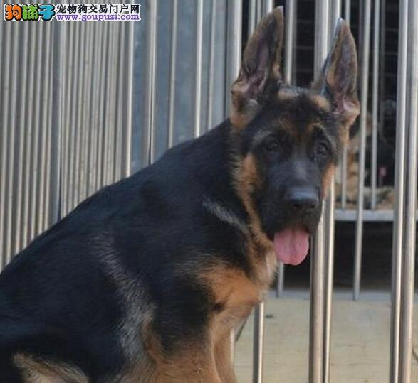 低价出售易训练的厦门德国牧羊犬 服从命令 感觉敏锐2