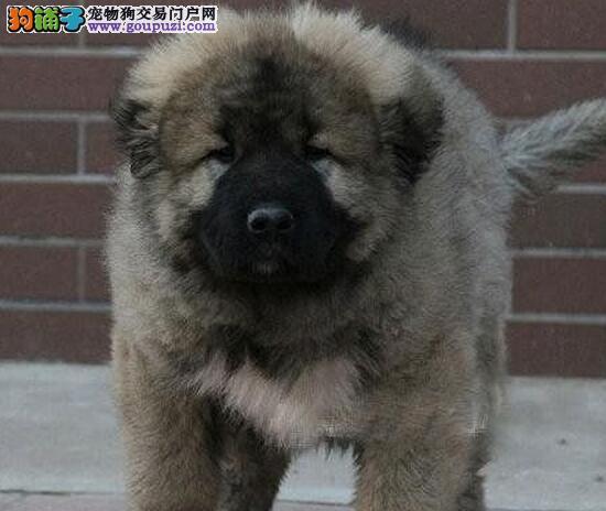 合肥本地养殖基地出售纯种高加索犬 可当面看狗品相好