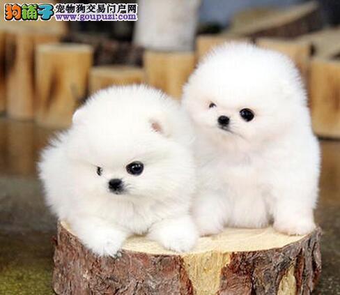 郑州出售博美犬颜色齐全公母都有我们承诺售后三包